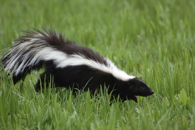 Coexisting with Wildlife - Skunks