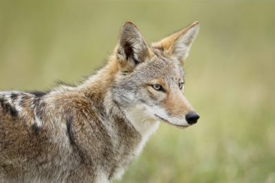 Coexisting with Wildlife - Coyotes