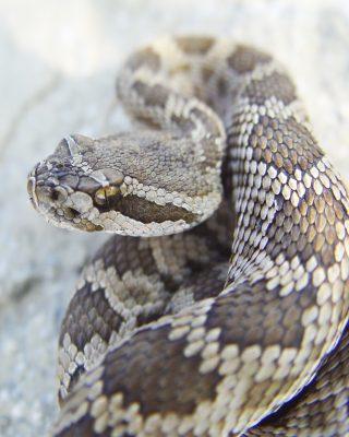 Rattlesnakes of Marin @ Marin Humane
