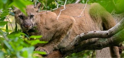 Living with Mountain Lions @ Marin Humane