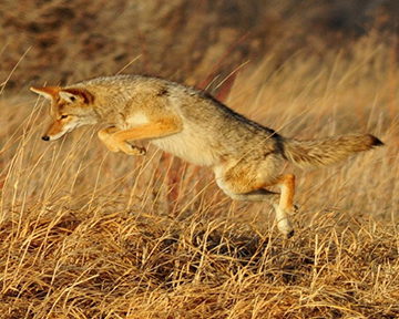 Coexisting with Coyotes @ Centrl Marin Police Authority, Community Room