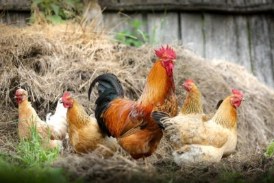 ONLINE: Healthy & Happy Pet Chickens @ ONLINE