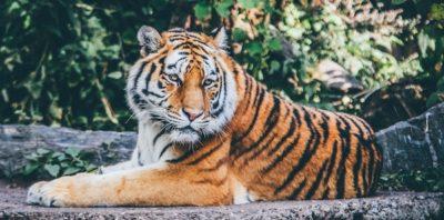Tiger By Nick Karvounis